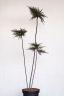 Cotoneaster thymifolius